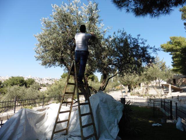 Olivenernte am Ölberg