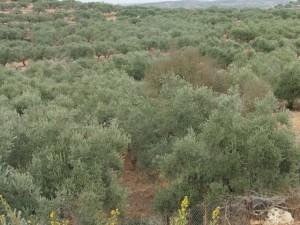 Olivenbäume soweit das Auge reicht