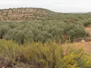 80 Millionen Olivenbäume
