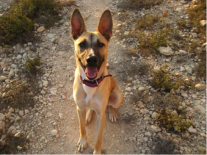 """""""Hunde sind gefährlich – sie beißen dich tot! Wirf schnell   Steine auf sie, sonst greifen sie dich an!"""" (Tönne, ein  sehr typischer Vertreter der """"Baladi"""" Hunde, der  Westbankstreuner)"""