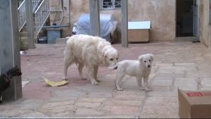 """Der Hund der """"Pflegefamilie"""" mit dem zugelaufenen Welpen"""