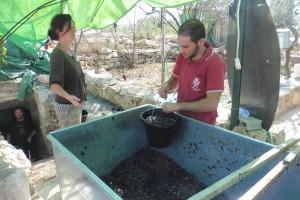 die gepressten Weintrauben