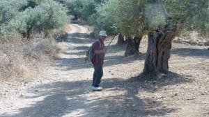 schöner Weg zwischen Olivenbäumen