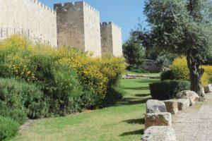blühender Ginster an der Altstadtmauer in Jerusalem