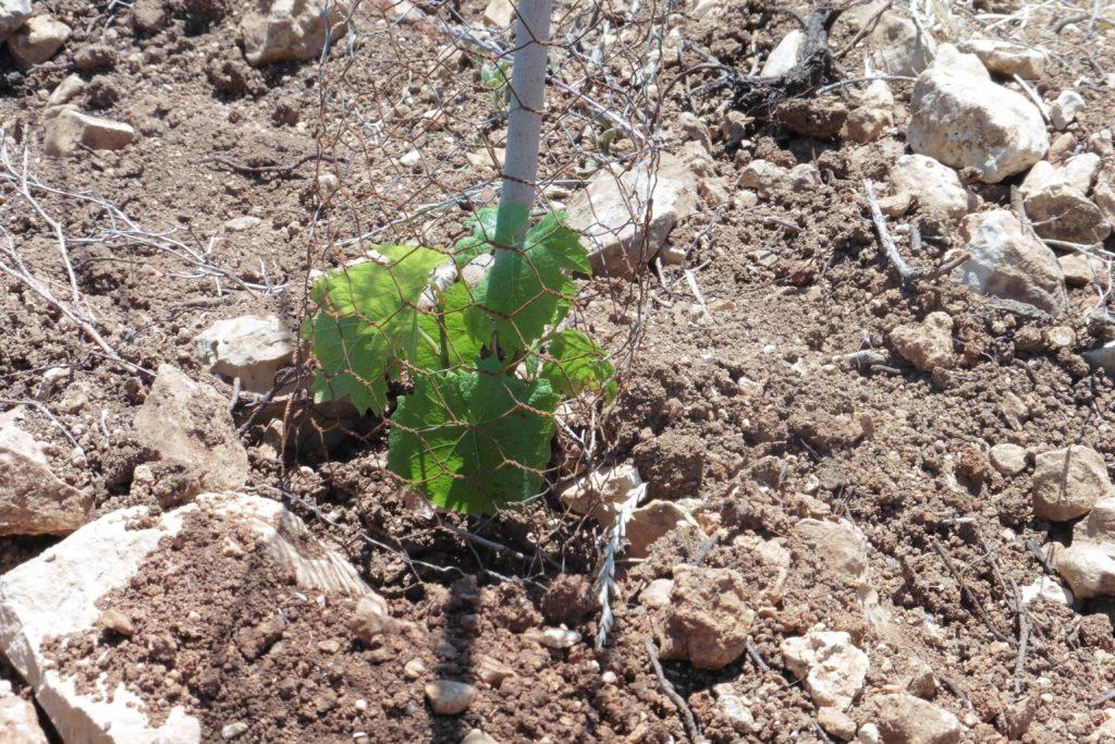 Weinstock: 2015 gepflanzt möge er Frucht bringen