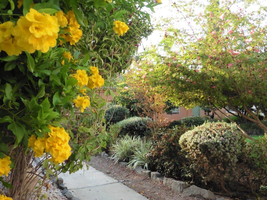 obwohl fast November: Blumenpracht im Kibbuz wie bei uns im Frühling